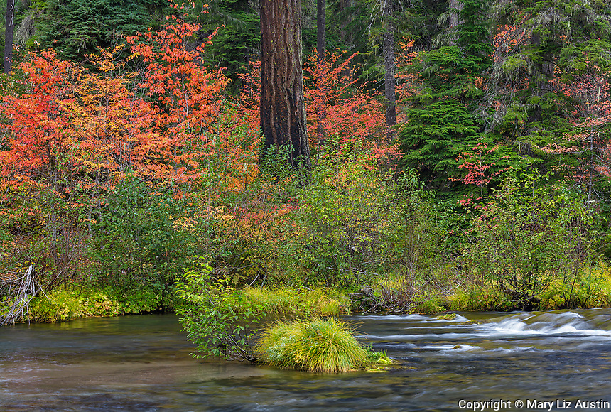 Rogue River National Forest, OR: Autumn colors of Western Flowering Dogwoodsalong the banks of the Rogue River. Part of the Rogue-Umpqua Scenic Byway