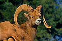 678503005 portrait of a captive bighorn sheep ram ovis canadensis at the los angeles zoo california