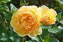 Rosa Graham Thomas ('Ausmas'), late August. A rich yellow English rose from David Austin first introduced in 1983.