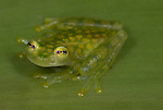 La Palma Glass Frog, Hyalinobatrachium valerioi, sitting on leaf, Guayacan, Provincia de Limon, Costa Rica, Amphibian Research Center, tropical jungle, South America.Central America....