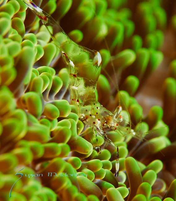 Clear Shrimp on Green Anemone, Lembeh Straits, Sulawesi Sea, Indonesia, Amazing Underwater Photography