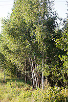 Clump of white birch like trees at edge of Polish National Forest. Zawady Central Poland