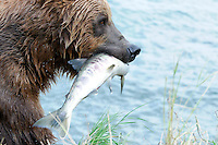 A brown bear head out after a day of successful fishing at the McNeil River Falls,  in Alaska's McNeil River State Game Sanctuary.