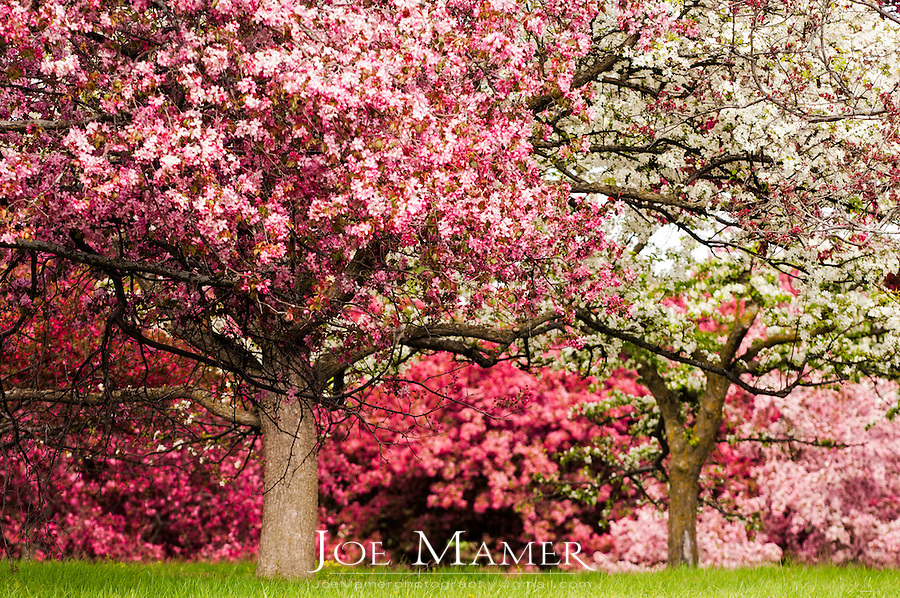 Apple trees in bloom at the University of Minnesota Landscape Arboretum in spring.