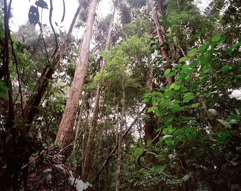 Rainforest canopy of trees, Tambopata Nature Reserve, Peru, South America