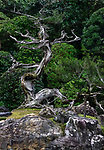 Beautiful juniper tree at the Crane and Turtle Japanese Zen rock garden of Konchi-in historic temple at Nanzen-ji complex in Sakyo-ku, Kyoto, Japan 2017 Image © MaximImages, License at https://www.maximimages.com