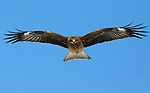 Black Kite, Milvus migrans, flying, Hokkaido Island, Japan, japanese, Asian, wilderness, wild, untamed, ornithology, bird of prey, in flight, feathers, majestic, magnificent, gliding, blue sky, raptor, scavenger.Japan....