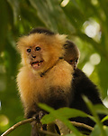 White-faced monkey with baby