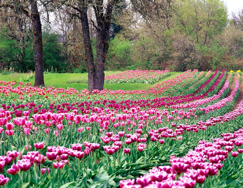 V00271M.tif   Tulip rows at Greengable Farms, Oregon