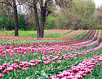 V00271M.tif   Tulip rows at Greengable Farms, Oregon