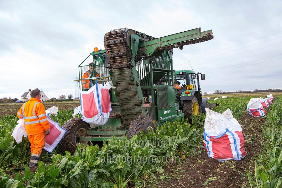 Harvesting a BBRO sugar beet variety trial - November; South Lincolnshire