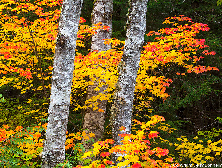 Mount Baker-Snoqualmie National Forest, Washington;<br /> Red alder (Alnus rubra) trunks with fall colors of vine maple (acer circinatum) branches