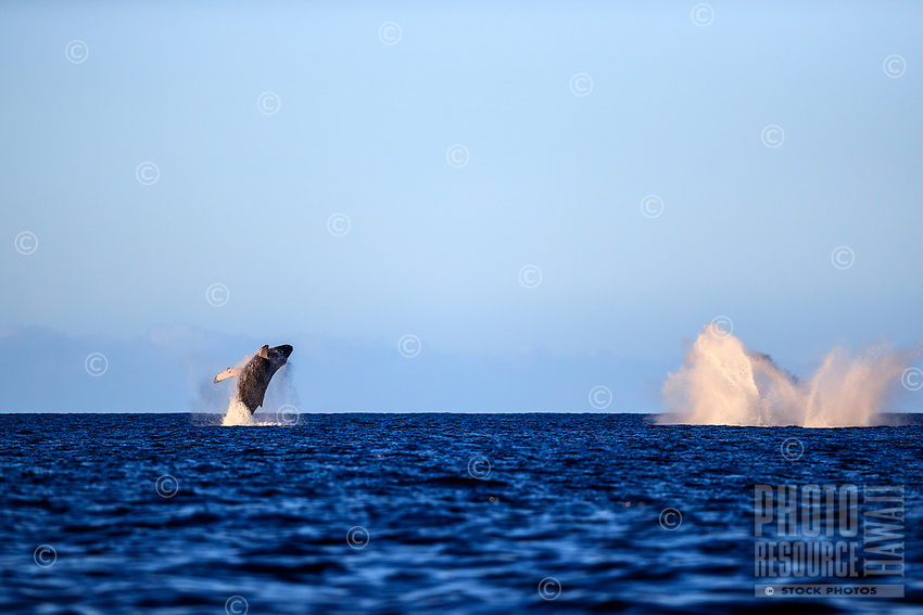 A humpback whale breaches as another one makes a splash nearby off the waters of Maui.