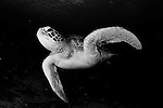 green turtle: Chelonia mydas, Swimming in Komodo National Park, monochrome, black and white image