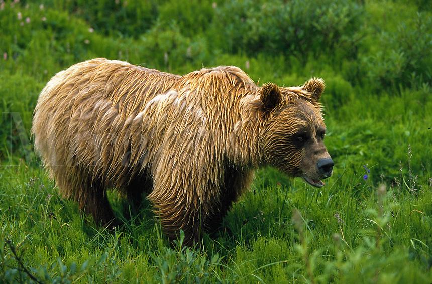 Grizzly Bear soaked by the rain in green tundra, Denali National Park, Alaska