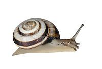 banded snail<br /> Cernuella virgata