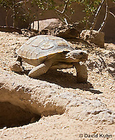 0609-1035  Desert Tortoise Near Entrance to its Burrow (Mojave Desert), Gopherus agassizii  © David Kuhn/Dwight Kuhn Photography
