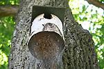 Foto: VidiPhoto<br /> <br /> BERKUM – De slimste rupsen van Nederland bevinden zich ongetwijfeld in Berkum, gemeente Zwolle. Om de overlast van de eikenprocessierups tegen te gaan en de natuur zijn werk te laten doen, hebben bewoners van de Campherbeeklaan nestkasten geplaatst aan de eikenbomen, zodat kool- en pimpelmezen, boomklevers en koekoek kunnen helpen om de aantallen rupsen binnen de perken te houden. Daar hebben de plaagdieren wat op gevonden. Ze verbergen zich nu aan de onderkant van de vogelhuisjes, buiten het zicht van de mezen. Slimme vogel die ze nu nog vindt... En dat niet alleen, want ook de bestrijdingsploeg van de gemeente Zwolle ziet ze volgens de buurtbewoners over het hoofd. Iedere twee weken worden de eikenbomen langs deze populaire fietsroute gecontroleerd, maar de rupsen worden steeds over het hoofd gezien. Omdat de bomen echter in een groene zone staan, het actieve controlegebied van Zwolle, kunnen bewoners de overlast niet melden. In Zwolle en omgeving staan veel eiken. Brandharen van de eikenprocessierups vormen een gevaar voor de volksgezondheid.