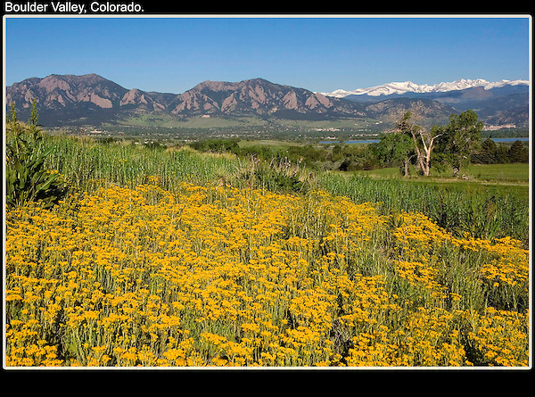 Yarrow wildflowers overlooking Boulder valley, with the Flatirons rock formation and snowy Rocky Mountains.<br />