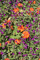 Geranium 'Maverick Orange' (Pelargonium) with Gomphrena globosa (globe Amaranth), two different annual plants in garden together, hot colors in contrasting tones