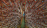 "Thailand - ""Mating Season"" : A male peacock adorns his colorful feathers at an animal farm in Bangkok, Thailand. WIld animals are protected in Thailand, so all the exhibits have to come from captive born specimens..Mandatory Credit: Donald Miralle, Jr./ Getty Images"
