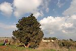 Israel, Lower Galilee. Cypress tree (Cupressus sempervirens) in Ilania