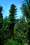 California: Redwood forest environment.  Tree in Big Basin Park..Photo copyright Lee Foster, 510/549-2202, lee@fostertravel.com, www.fostertavel.com..Photo #: cared2105