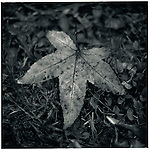 JULY 1995    -  Melbourne, Australia   - A Maple leaf at the Maroondah Dam..