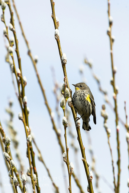 Yellow-rumped warbler, Fern Hill Wetlands, Oregon