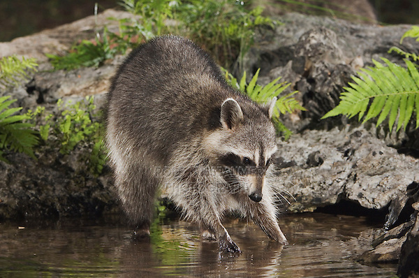Northern Raccoon, Procyon lotor, adult at spring fed pond with fern, Uvalde County, Hill Country, Texas, USA