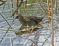Sora nonbreeding adult at Paradise Pond, Port Aransas, TX