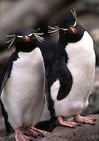 Macaroni Penguin Eudyptes chrysolophus Islas Malvinas. West End Island, Falkland Islands Antarctica.
