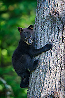 Tiny Black Bear (Ursus americanus) spring cub scurries down a tree when its mother calls.  Black Bears are incredibly agile climbers - even at a very young age (this little guy is only about 4 months old in this image).