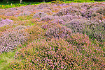 Heather plants, Calluna vulgaris, purple flowers, heathland vegetation, Sutton Heath, Suffolk Sandlings, Shottisham, England, UK