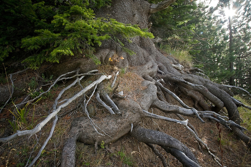 Greece, Pindos Mountains, Pindos NP, Valia Calda, Balkan Pine roots