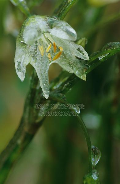 False Garlic, Nothoscordum bivalve, blossom after Ice Rain, San Antonio, USA