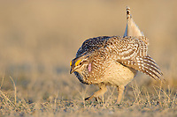 Adult male Sharp-tailed Grouse(Tympanuchus phasianellus) making an aggressive charge on a lek. Ft. Pierre National Grassland, South Dakota. April.