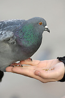 Poland, Krakow, Pigeon on woman's hand