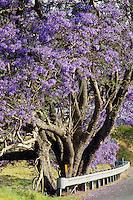 Jacaranda trees in bloom on Maui in Hawaii