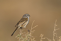 578830018 a wild sage sparrow amphispiza belli nevadensis perches on a sagebrush branch in kern county california