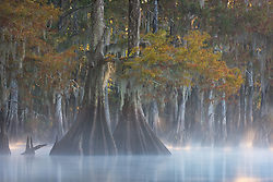 Beams of light filter through fall color in a forest of old bald cypress on a misty morning.