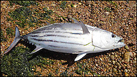 BNPS.co.uk (01202 558833)<br /> Picture: LeoCurtis/BNPS<br /> <br /> An exotic tuna fish has been caught in British waters for the first time ever after it tried to swim up a river.<br /> <br /> The 2ft skipjack tuna was discovered thrashing around in shallows at the mouth of the River Otter at the seaside town of Budleigh Salterton, Devon.<br /> <br /> Leo Curtis and pal Ian Carrott had been on the beach when they spotted the fish beached in six inches of water in the river estuary. They tried to direct it back out to sea but the exhausted fish died.<br /> <br /> Rather than leaving the tuna for seagulls to eat the pair gutted it and took it home to barbecue.