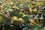 Giant Rhubarb, Gunnera tinctoria, Gunneraceae plants backlight by sun in field, Suffolk, UK