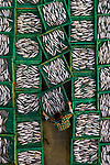Pictured: Tens of thousands of fish are laid out to dry in neat rows of boxes.   The mackerel are left under the hot sun after being caught and brought to shore by fishing boats and is later sold to markets and supermarkets.<br /> <br /> Aerial photographs of the fish drying produced eye-catching shots because of the green and yellow boxes they are laid out in.   Photographer Trung Anh took these shots at Long Hai Commune, Long Dien District, Vietnam.   SEE OUR COPY FOR DETAILS<br /> <br /> Please byline: Trung Anh/Solent News<br /> <br /> © Trung Anh/Solent News & Photo Agency<br /> UK +44 (0) 2380 458800
