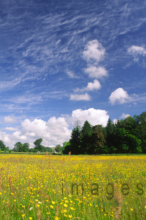Summer a field of buttercup flowers flowering under a blue sky with interesting clouds at Hoddom Bridge Annandale Scotland UK