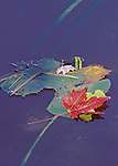 Autumn leaves on a Pond Lily on a lake. Treehaven, Wisconsin
