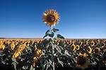 Single sun flower higher than the rest, symbol for achievement, excellence, individuality, American west, USA,.