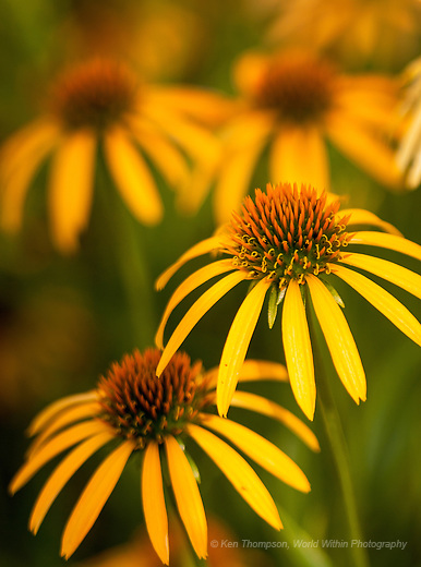 Yellow Coneflower<br /> <br /> Taken at The Morton Arboretum, this cultivar was developed by the Arboretum and planted near the Library, in the middle of a parking lot!