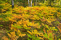 Bracken Fern (Pteridium aquilinum) in early autumn <br />