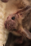 A male adult big brown bat looks around his enclosure during the NorCal Bats event Saturday afternoon at the Carson City Library..Photo by Cathleen Allison